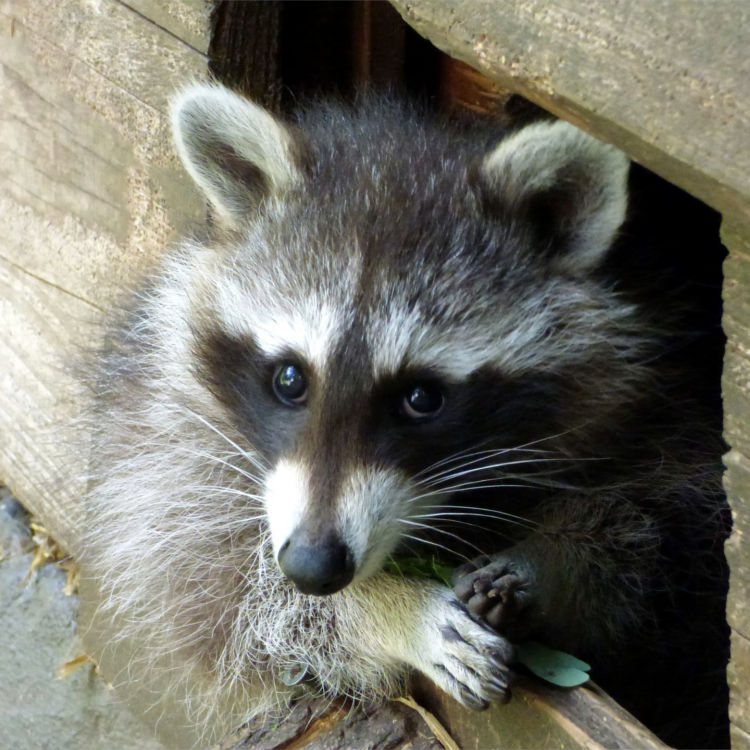 Centurian Services 187 Animal Control 187 Are Raccoons Dangerous