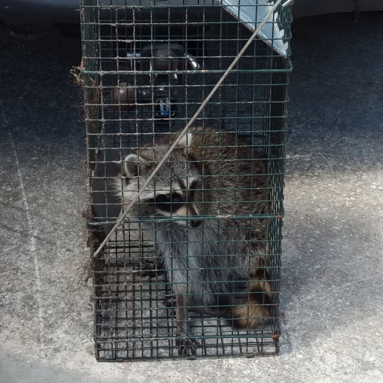 Centurian Services 187 Animal Control 187 Raccoons